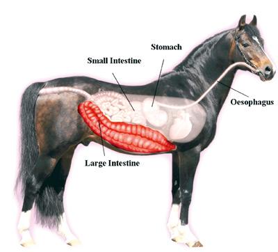 What Is Colitis Brindabella Equine Mobile Veterinary